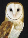 Barn Owl: Open Countryside, Grassland, Edge of Woodland, Etc.