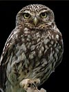 Little Owl: Commonly seen in the daytime around Orchards & Old Willows