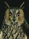 Long Eared Owl: Woodland, Conifer Plantations