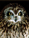 Short Eared Owl: Open Countryside, Grassland Areas, Marsh Areas. Etc.