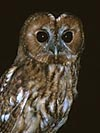 Tawny Owl: Areas of Woodland