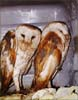 Barn Owls in captivity need better legislation to protect them from human abuse