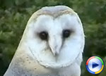 Barnowls at the Centre, click to view Windows Media Movie