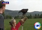 Harris Hawk, click to view Windows Media Movie