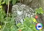 Little Owl, click to view Windows Media Movie