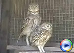 Orphaned Little Owl, click to view Windows Media Movie