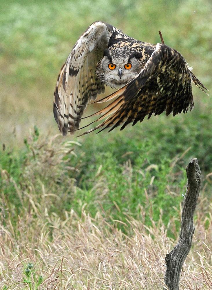 Barn Owl Taking Off The Barn Owl Ce...