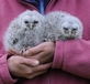Young Tawny Owlets