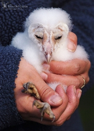 This is a captive bred Barn Owl sadly kept in a large Budgie Cage