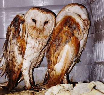 Captive Bred Barn Owls - Mistreated!