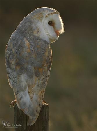 The Barn Owl Centre - Barn Owl Information - The Barn Owl ...