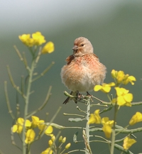 Male Linnet within our wildflower meadow
