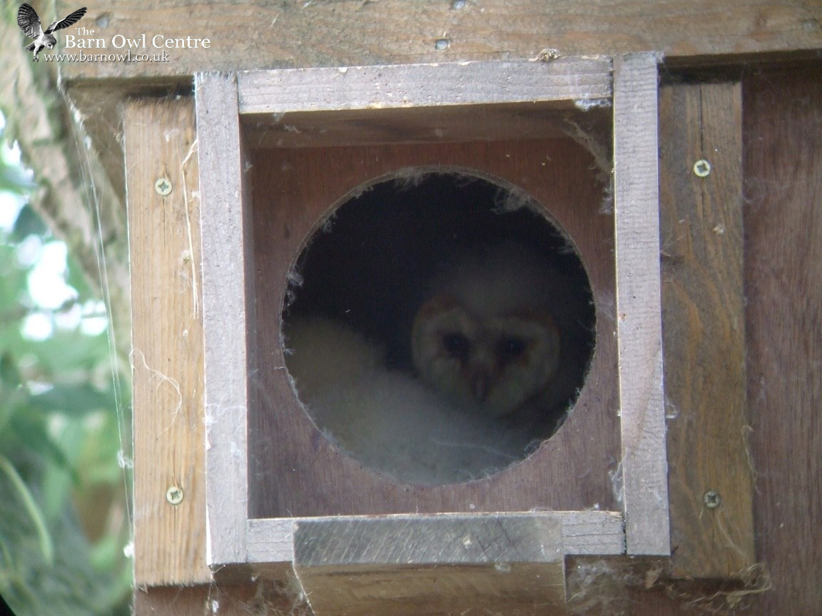 Owl Nesting Box uk Barn Owl Nest Boxes