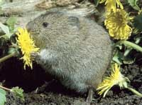 Short Tail Vole or Field Vole
